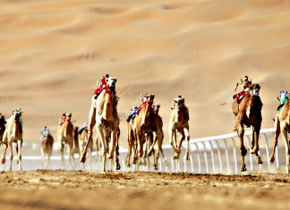 Camel racing in the United Arab Emirates